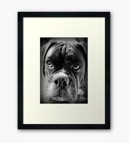 Oh bitte ... Lassen Sie es Regen Cookies ~ Boxer Dogs Series ~ Gerahmter Kunstdruck