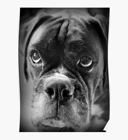 Oh bitte ... Lassen Sie es Regen Cookies ~ Boxer Dogs Series ~ Poster