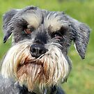 Was That A Real Question? - Schnauzer - NZ by AndreaEL