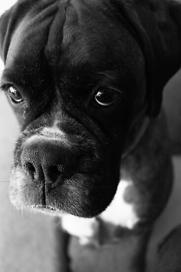 Can't You Tell... It wasn't Me... - Boxer Dogs Series by Evita