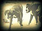 Boxer beim Spielen von Evita