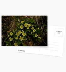 Primrose, Drumlamph Wood, County Derry Postcards