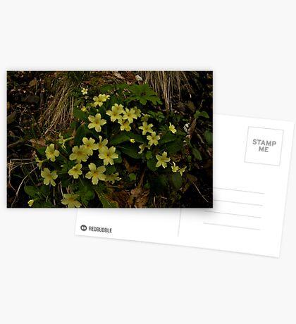Primrose, Drumlamph Wood, County Derry Greeting Card