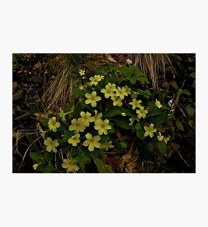 Primrose, Drumlamph Wood, County Derry Photographic Print