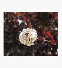 Cream Flower Photographic Print
