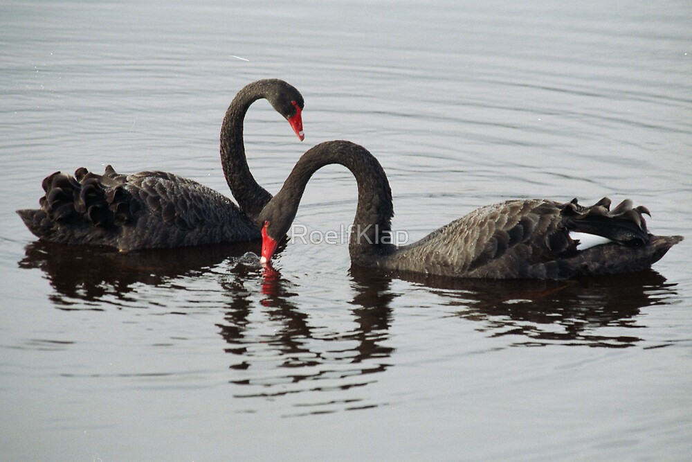 Black swans by RoelfKlap