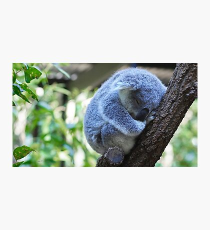 Koala Kinder Nap Photographic Print