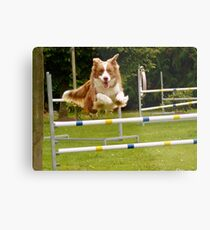I Believe I Can Fly... I Believe... - Border Collie - NZ Metal Print