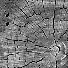 26.4.2017: Old Stump II by Petri Volanen