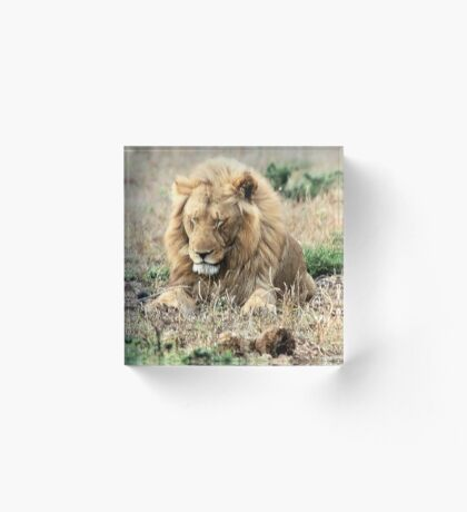 TOTALLY EXHAUSTED - THE LION – Panthera leo Acrylic Block