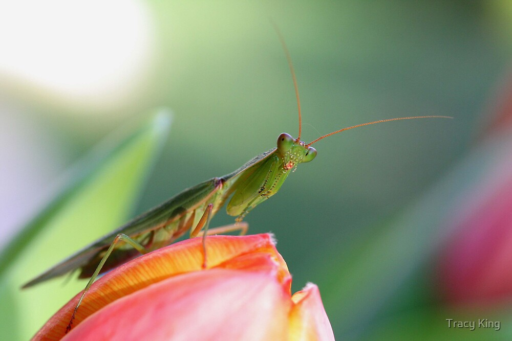 Praying Mantis on Tulip by Tracy King