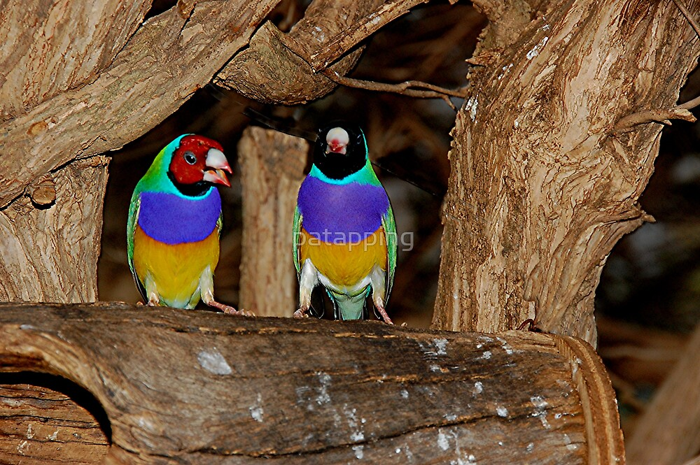 Gouldian Finch by patapping