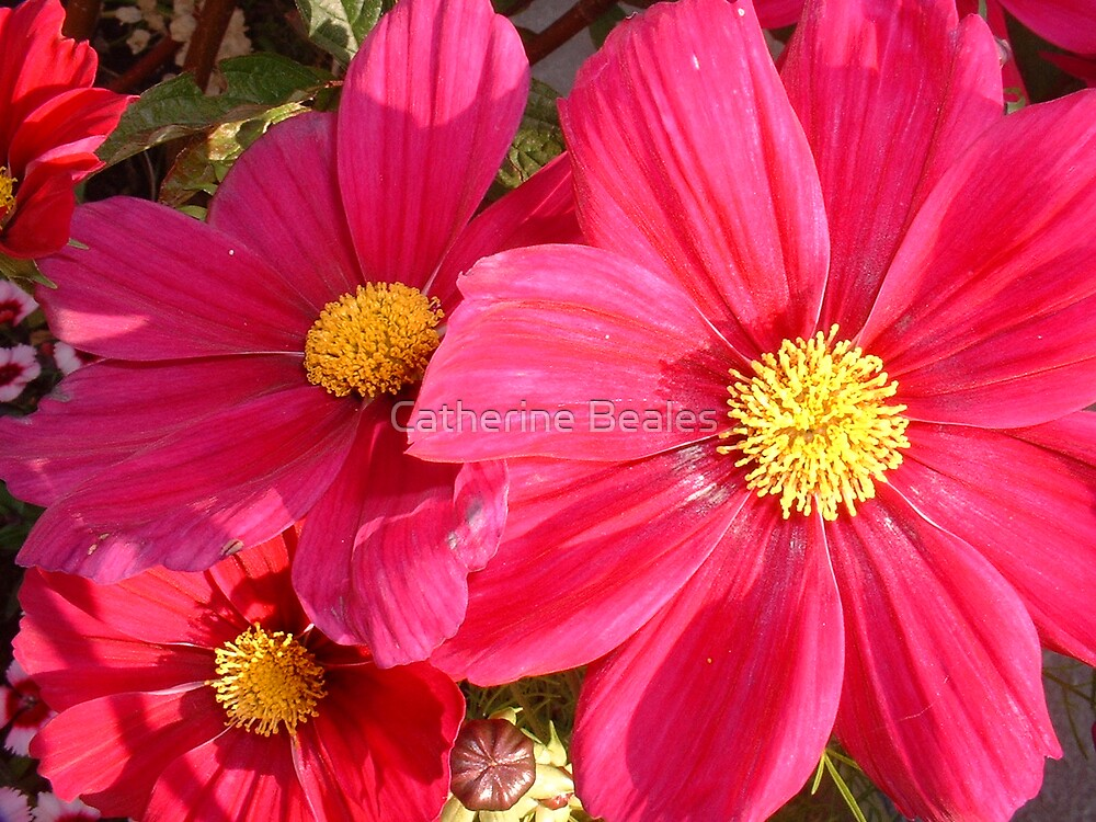 cosmos by Catherine Beales