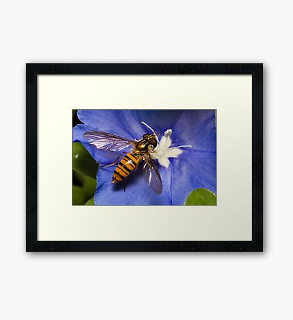 Hoverfly on flower Framed Print