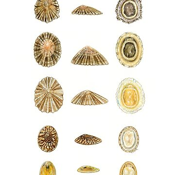 British Limpets by edenart