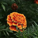 Marigold Close-up by Scott Mitchell