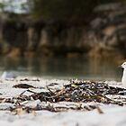 Lone Seagull, Jervis Bay, NSW, Australia by LisaRoberts