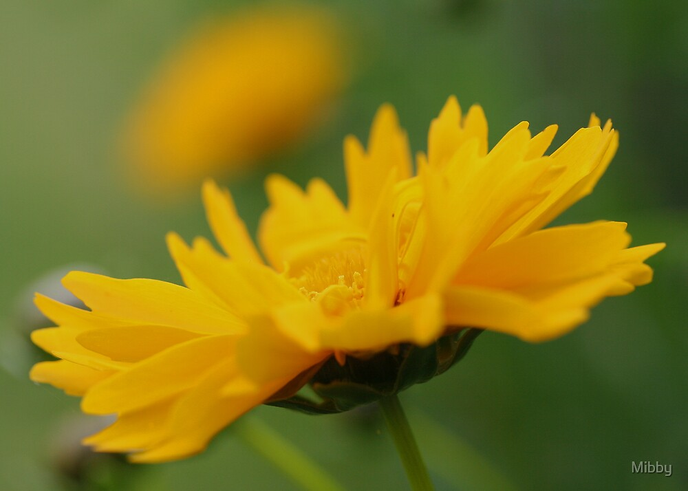 Coreopsis by Mibby