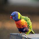 Rainbow Lorikeet by LisaRoberts