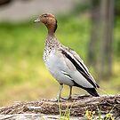 Australian Wood Duck, full length by LisaRoberts