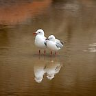 Gulls reflection, NSW Australia by LisaRoberts
