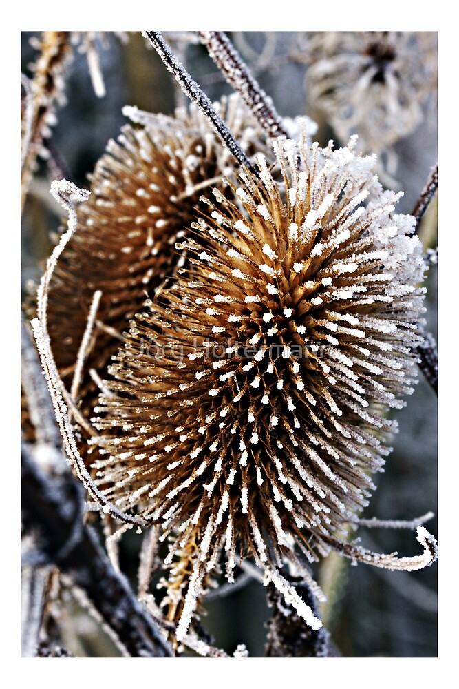 Frost thistle by Jörg Holtermann
