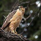 Cooper's Hawk by Eivor Kuchta