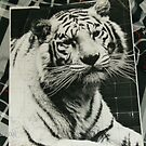 white tiger in black and white by alisha1