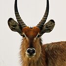Portrait of a large male waterbuck by Anthony Goldman