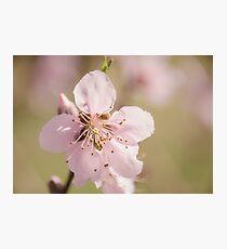 Peach Blossoms 10 Photographic Print