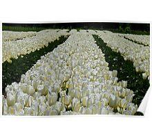 White Velvet Rows! - Tulip Plantation - NZ Poster