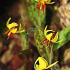 Trout Lilies by Debbie Oppermann