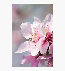 Peach Blossoms 12 Photographic Print