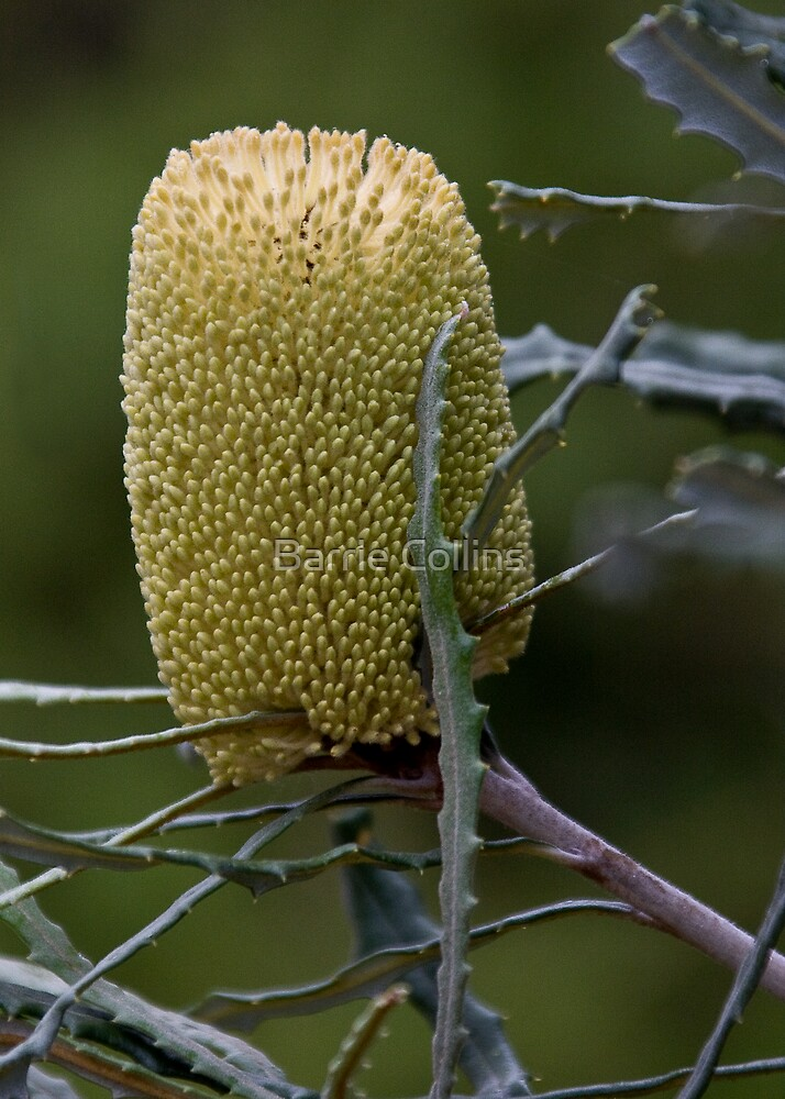 Banksia pilostylis (I think) by Barrie Collins