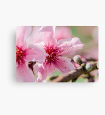 Peach Blossoms 16 Canvas Print