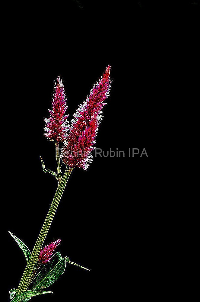 Red and White  -single stem by Dennis Rubin IPA
