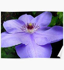 Passionate Purple! - Purple Flower - Maple Glen NZ Poster