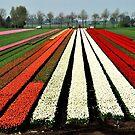Tulip delight by jchanders