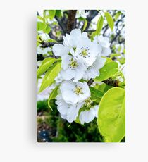 Apple Blossoms After Snow Canvas Print