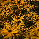 black-eyed susans by codaimages