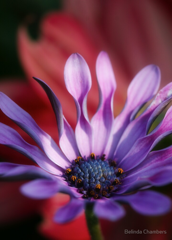 African Daisy by Belinda Chambers