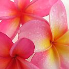Pink Frangipani by Jo  Young