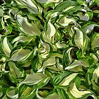 Hosta Abstract  by Lanis Rossi