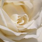 White Rose by Jo  Young