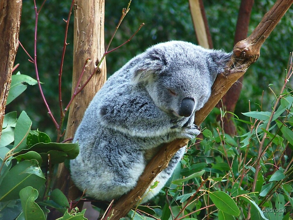 Koala by pedroski