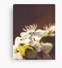 Pear Blossoms 2 Canvas Print