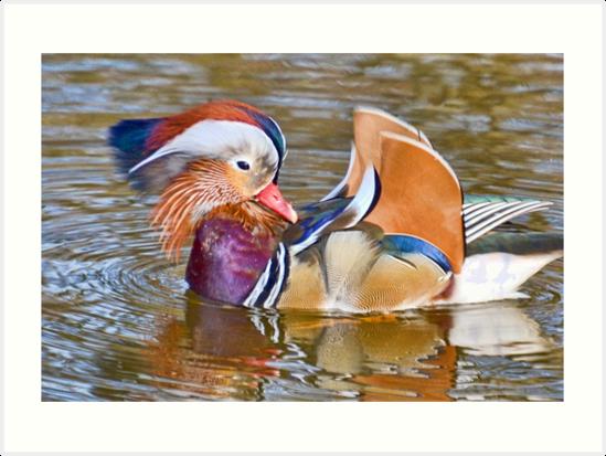 Mandarin Duck , Dorset UK by lynn carter