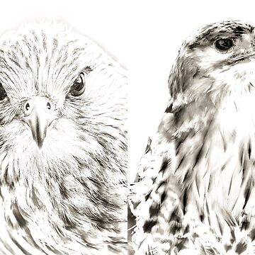Falcon and Hawk by Dalyn