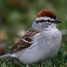 Chipping Sparrow by Dennis Cheeseman