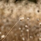 Bush Grass, Australia by LisaRoberts